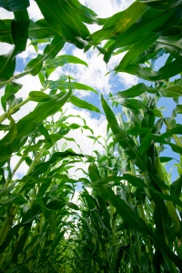 1394537_corn_field_-_inside.jpg